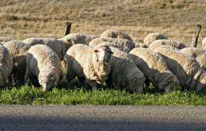 SHUKR Natural Wool Fiber